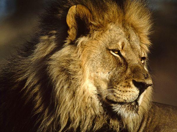 Mơ thấy sư tử có ý nghĩa gì