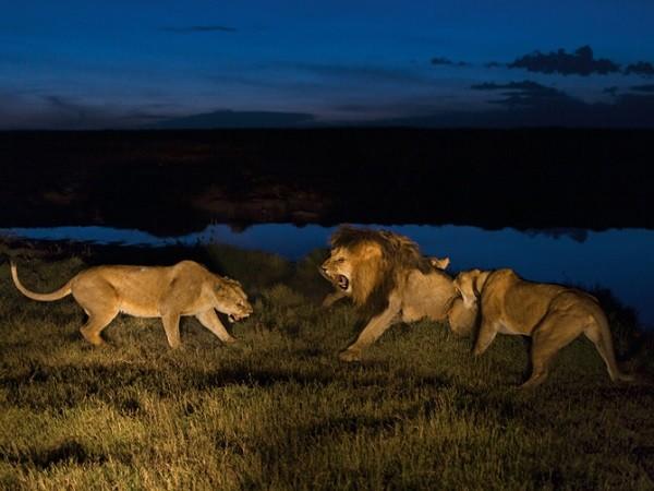 Con số may mắn của giấc mơ thấy sư tử