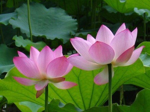 Mơ thấy hoa sen có điềm báo gì, đánh xổ số lô đề con gì