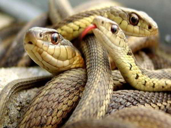 Mơ thấy nhiều rắn có ý nghĩa gì, đánh xổ số lô đề con gì