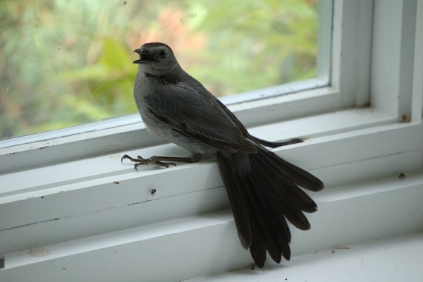 Chim bay vào nhà là điềm báo hên hay xui?