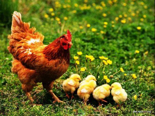 Nằm mơ thấy gà là điềm tốt hay điềm xấu, có ý nghĩa gì