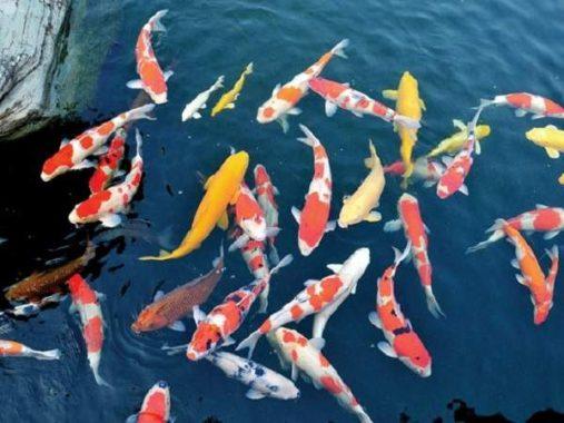 Mơ thấy cá koi là điềm báo gì và đánh con gì dễ trúng