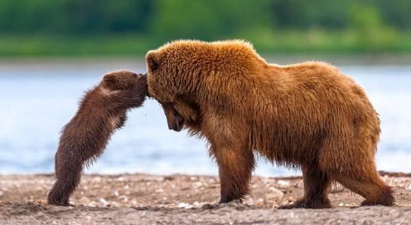 Nằm mơ thấy con gấu là điềm báo gì nên đánh con số mấy